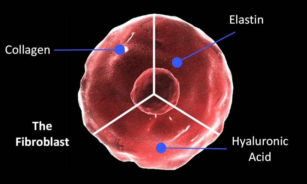 Skin Boosters The Fibroblast